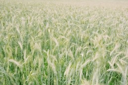 contentment in grainfield